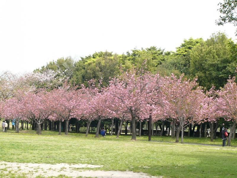 sakura-cibodas